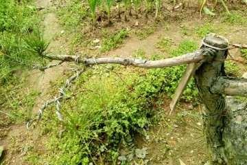 春季给松树盆景补枝嫁接 可以成活么