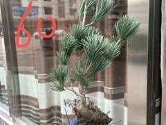 为什么碱性土壤种植黑松下山桩不安全