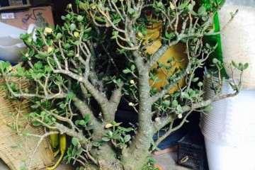 30年玉树老桩盆景 500元价格 贵不贵