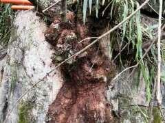 这棵野生山楂树下山桩老桩如何