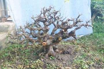冬季气温低于零下雀梅盆景也没事 超级耐寒