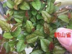 雀梅下山桩的红芽很漂亮 浙江还有种毛雀