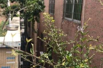 请问雀梅盆景的叶子为什么全部这样?