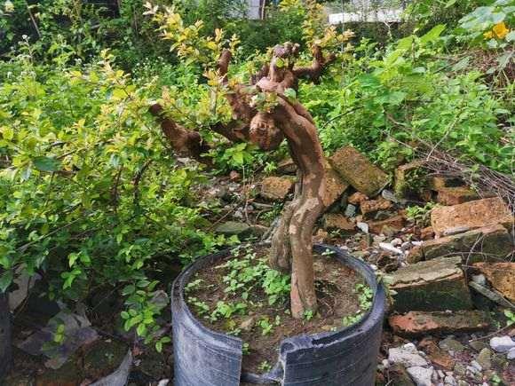 雀梅下山桩几年开花