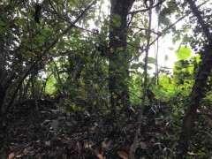 今天挖的一颗雀梅过桥丛林下山桩