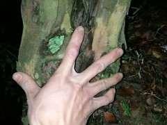发现一棵大型雀梅下山桩 直径20公分