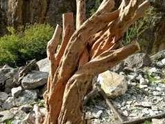 为什么雀梅下山桩 一年四季可以栽种