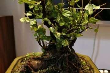 老桩雀梅盆景叶子全枯了 是水少了吗