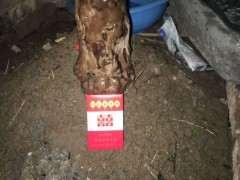 我的雀梅下山桩 高1米8 泥土 树龄百年