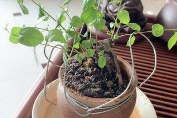 雀梅盆景的叶子长的很快 怎么修剪