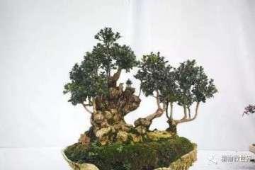 雀舌黄杨盆景怎么繁殖养护的方法