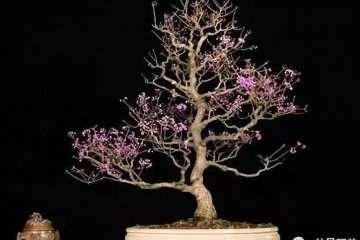 为什么春季栽植紫珠盆景对生长最好