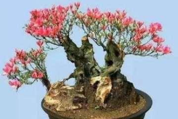 映山红盆景素材怎么繁殖的方法