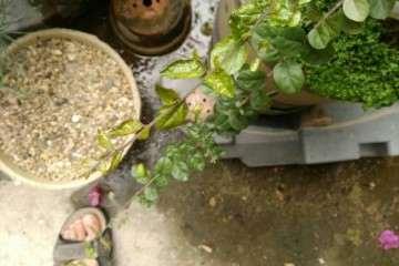 夏天雀梅盆景叶皱缩变形及焦叶 怎么办