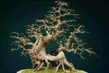 杂木盆景枝干怎么快速增粗的方法