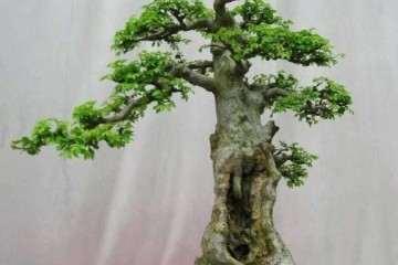 榆树小苗盆景该如何养护的方法