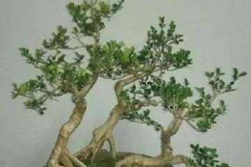 怎样才能养好小叶黄杨盆景的方法