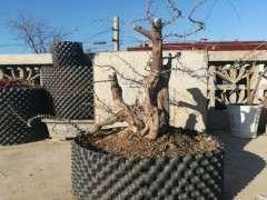 为什么冬季蟠扎雀梅下山桩很容易折枝