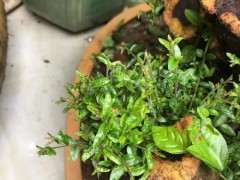 雀梅下山桩发芽都是这种很细细的