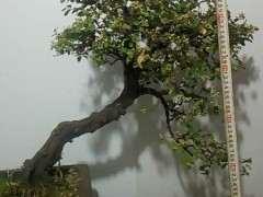 雀梅下山桩种植10年 摘叶后的图片展示