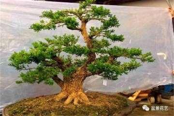 黄杨盆景怎么配土施肥的方法