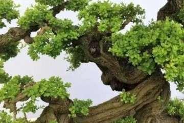 铁包金盆景怎么浸泡生根的方法