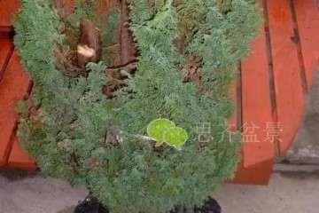图解 直干柏树盆景怎么制作造型的方法