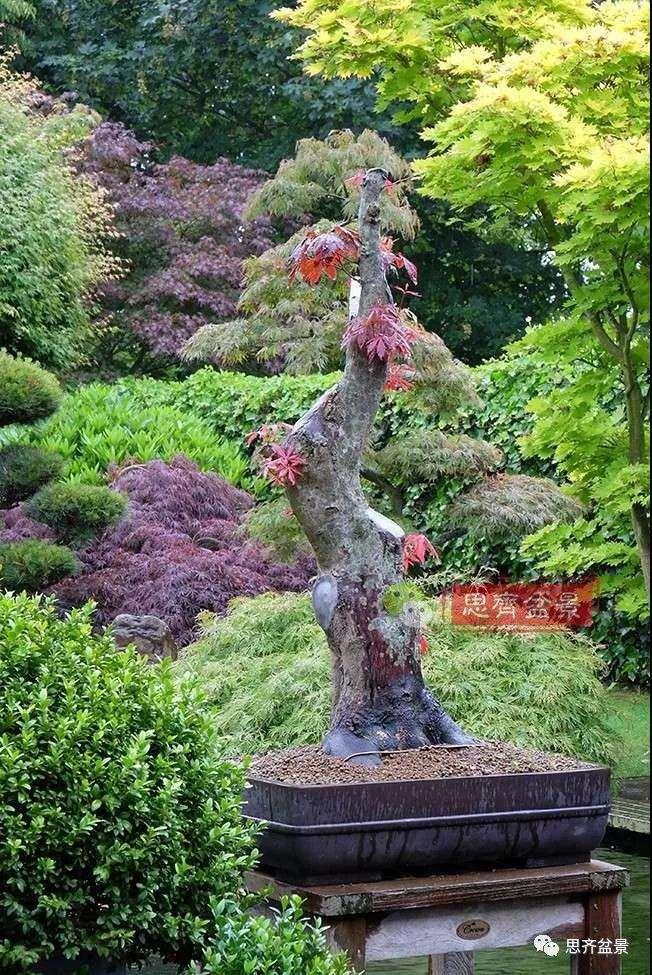红枫树桩怎么制作成盆景的方法