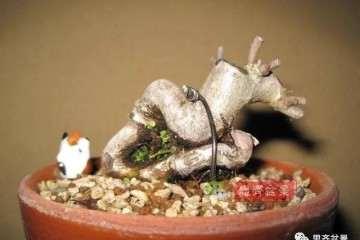 图解 一棵微型白花长寿梅盆景的培养方法