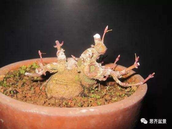 红枫素材苗怎么制作成矮霸盆景