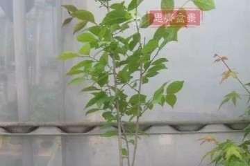 图解 如何将一棵扦插苗培养成矮霸盆景