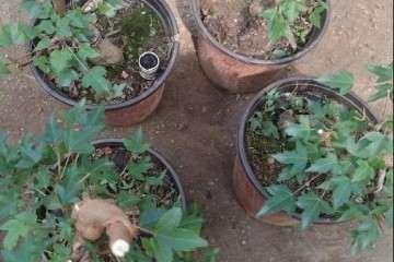 图解 夏季三角枫盆景怎么上盆的方法