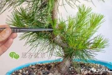 图解 怎么修剪赤松盆景的牺牲枝