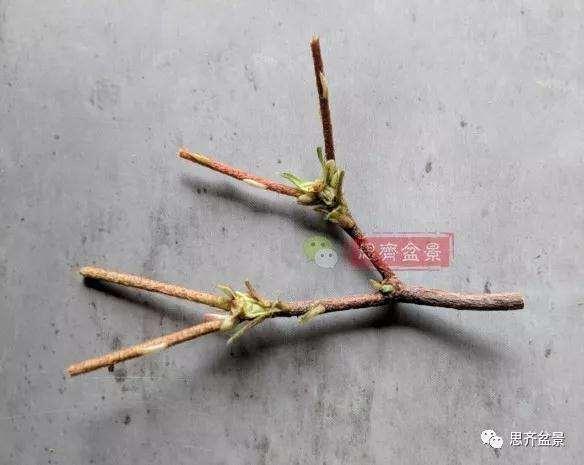 日本皋月杜鹃怎么修剪养护的方法