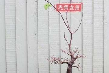 图解 红枫盆景17年制作成型的过程