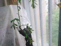 下山桩怎么缠膜栽种上盆的方法