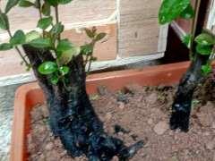 下山桩生桩来芽后 可以移栽或者换盆么?