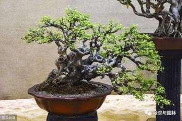 榆树盆景放在通风好 光照足的地方最好
