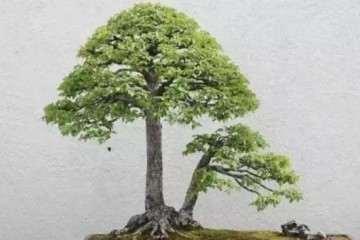 榆树双杆小苗怎么制作盆景