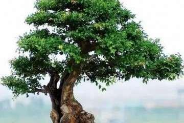 盆景榔榆下山桩的保湿有什么方法