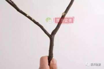 图解 盆景分叉枝调怎么蟠扎的方法