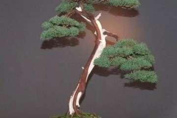 图解 文人纪州真柏盆景怎么成型的过程