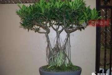 图解 高干榕树盆景怎么瞬间变矮霸的方法
