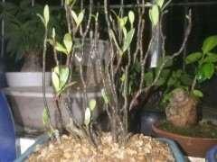 下山桩生桩无毛细根种下一个月24天了