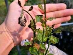 下山桩生桩叶子发黑 叶头下垂是什么原因