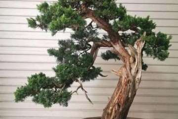 盆景树木发生肥害后怎么救治