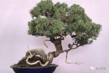 盆景肥料怎么选用要根据树木的特性