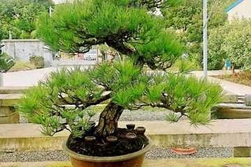 黄敖训先生捐赠100年盆龄黑松盆景一盆