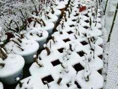 映山红下山桩怎么种植的方法 图片