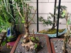 云南黄杨下山桩 栽了才十天 已经发芽好多